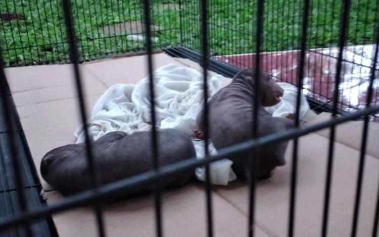 Inilah 2 ekor bayi beruang madu yang diserahkan warga kepada BKSDA Pos Jaga Sampit.