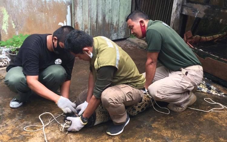 Kepala BKSDA Pos Jaga Sampit bersama petugas saat menangkap seekor buaya. Sementara, warga Sampit jadi korban serangan buaya hingga tangganya putus.