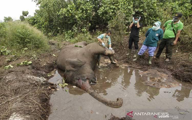 Tim medis Balai Besar Konservasi Sumber Daya Alam (BBKSDA) Riau melakukan nekropsi terhadap bangkai gajah sumatra yang ditemukan mati