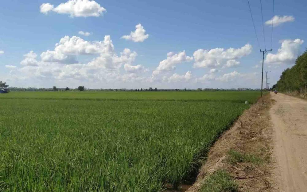 Persawahan padi di Kalteng.