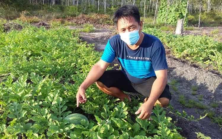 Kades Sababilah, Ardinto memperlihatkan tanaman semangka