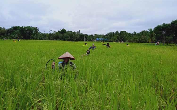 Petani padi di Kecamatan Pematang Karau pada musim tanam 2020