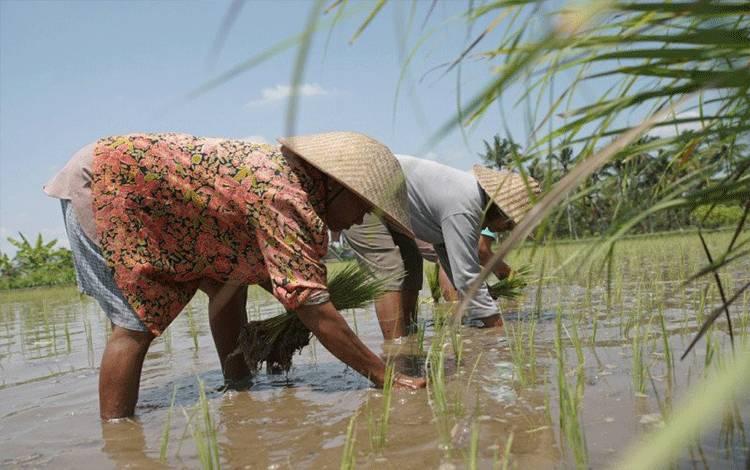 Ilustrasi - Petani menanam padi di sawah. ANTARA/HO-Dok KKP