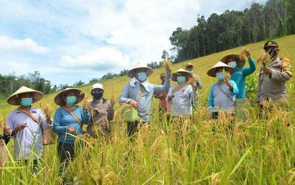 Bupati Hendra Lesmana, Sata Umani dan sejumlah orang saat panen padi, di ladang ada di Desa Lopus.