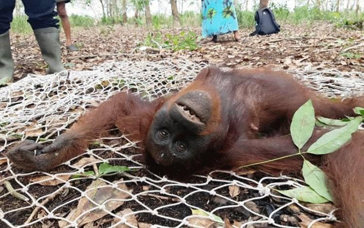 Seekor induk betina orang utan (Pongo pygmaeus) dalam kondisi dibius saat diselamatkan bersama anaknya di sebuah kebun warga di Jalan Jenderal Sudirman km 11 Sampit, Minggu (31/1/2021). (FOTO ANTARA/HO-BKSDA Pos Sampit)