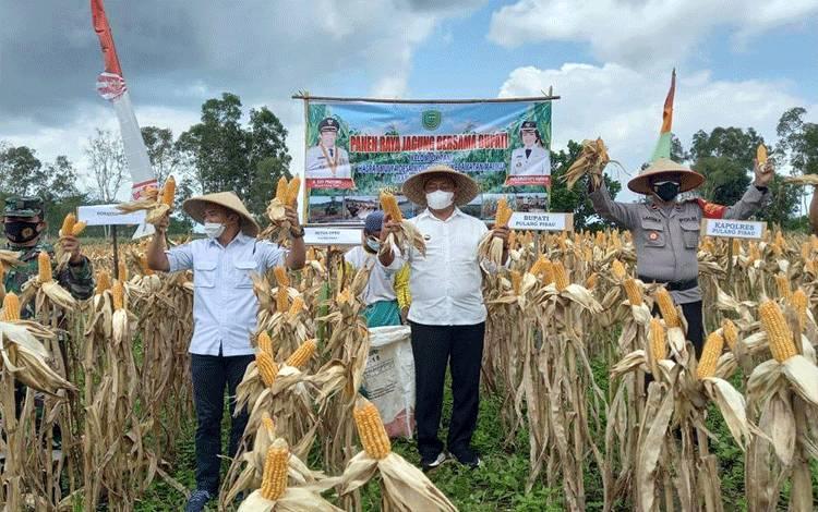 Bupati Pulang Pisau H. Edy Pratowo bersama rombongan melaksanakan panen jagung di Desa Wonoagung, Kecamatan Maliku, Rabu 24 Februari 2021.