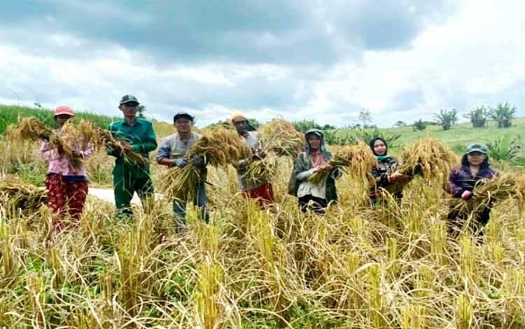 Para petani di daerah ini melakukan panen padi Musim Tanam Oktober-Maret (MT Okmar) 2020-2021