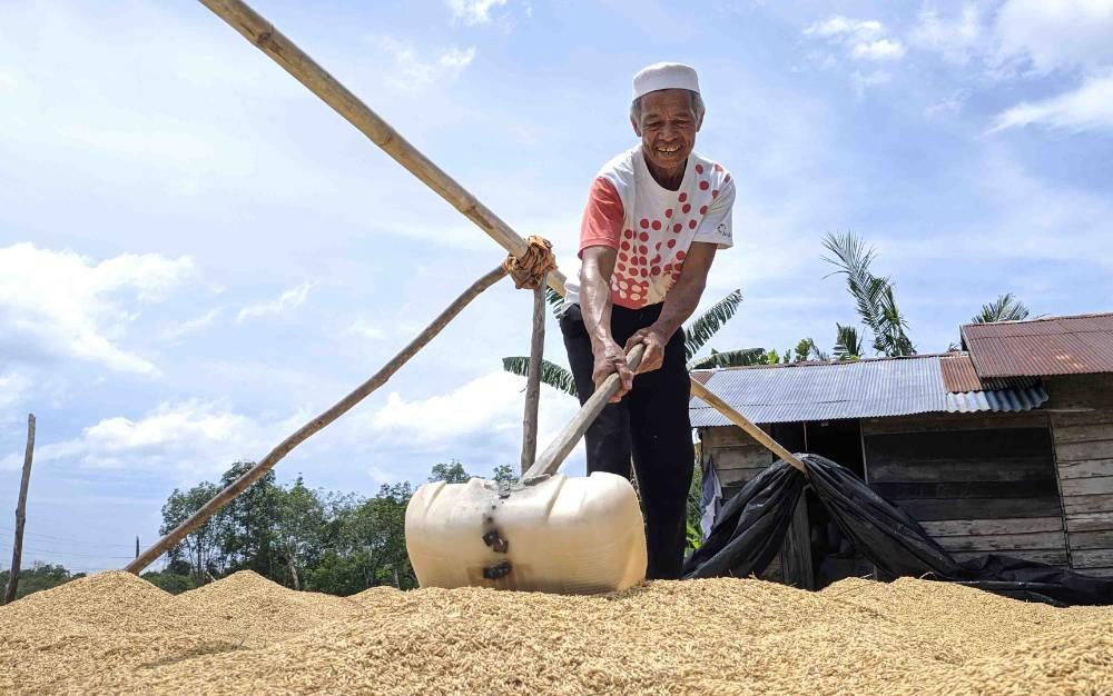 Seorang petani saat mengeringkan gabah hasil panen padi miliknya