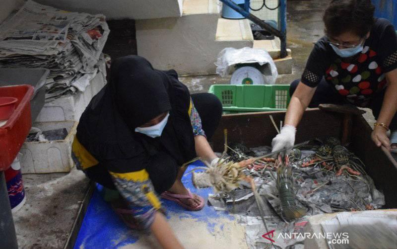 Pengusaha lobster sedang menyortir hasil perikanan yang akan dikirim ke sejumlah daerah. (foto : ANTARA/Melani)