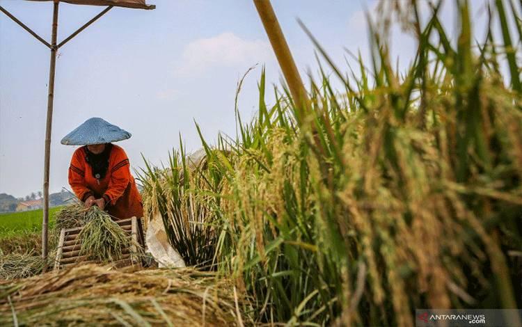 Dokumentasi. Petani memanen padi di Rajeg, Kabupaten Tangerang, Banten, Senin (13/4/2020). Center for Indonesia Policy Studies (CIPS) memperkirakan produksi pertanian akan turun 1,64 hingga 6,2 persen akibat terganggunya rantai pasokan seiring adanya pengurangan aktivitas sosial akibat wabah COVID-19. ANTARA FOTO/Fauzan/hp. (ANTARA FOTO/FAUZAN)