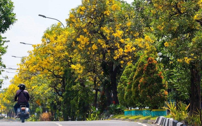 Bunga tabebuya kuning bermekaran di sepanjang kawasan Jalan Ahmad Yani, Kota Surabaya, Sabtu (15/5/2021). (foto : ANTARA/HO-Humas Pemkot Surabaya)