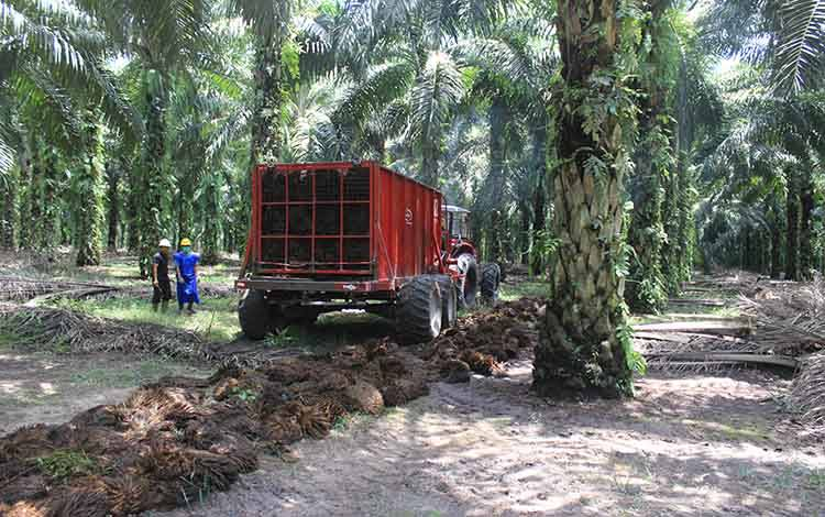 Pengumpulan tandan buah segar di perkebunan kelapa sawit.