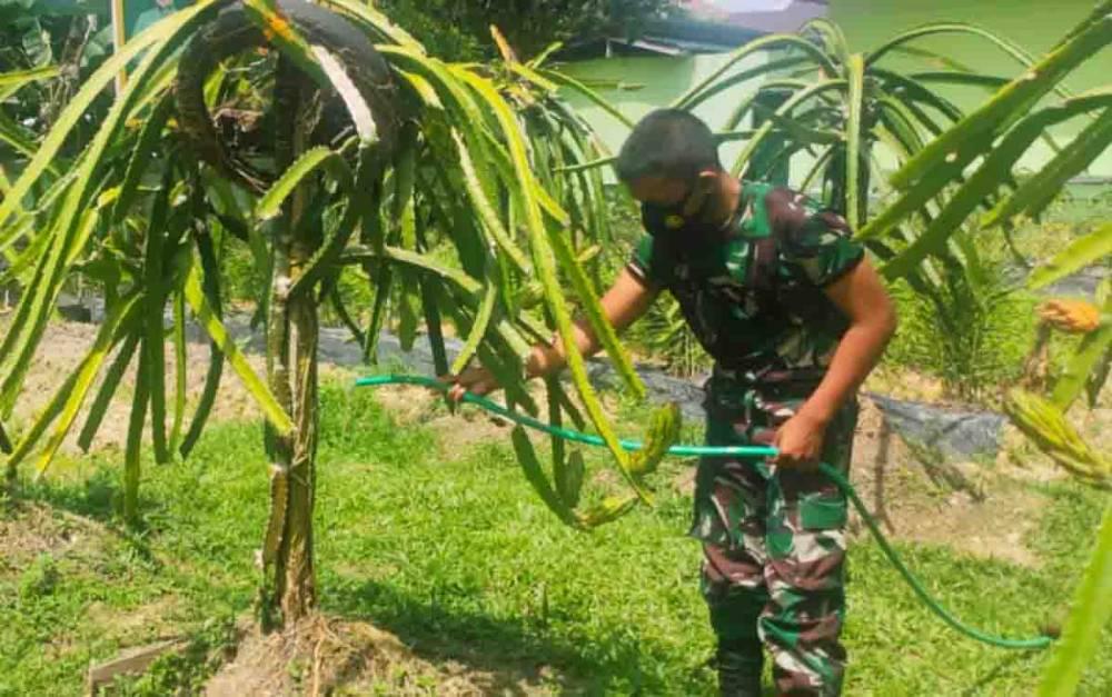 Salah satu anggota Kodim 1013 Muara Teweh saat melakukan perawatan kebun buah naga di pekarangan belakang Makodim 1013 Muara Teweh.