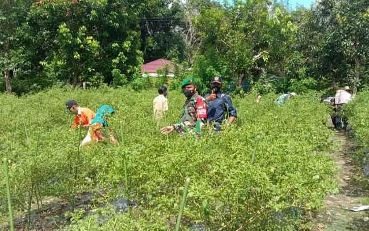 Salah satu Babinsa Koramil 1013-03 Teweh Tengah membantu para petani memanen cabai di Desa Trahean, kecamatan teweh Selatan, Senin, 7 Juni 2021.