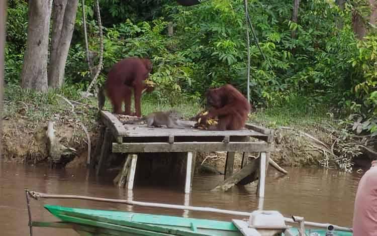 Orangutan yang pernah mendiami Pulau Salat mencapai 93 individu.