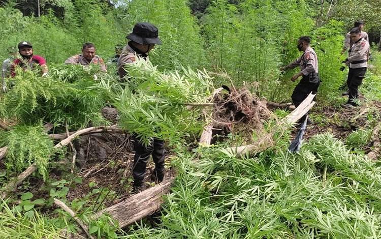Polisi memcabut tanaman ganja dalam pemusnahan di Gunung Seulawah, Kecamatan Seulimeum, Kabupaten Aceh Besar, Rabu (16/6/2021). ANTARA/HO