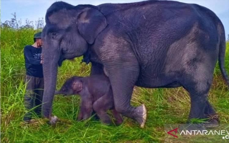 Anak gajah yang baru lahir di PLG Jalur 21 Suaka Margasatwa Padang Sugihan, BKSDA Sumatera Selatan, Jumat (18/6/2021). (ANTARA/HO-KLHK)