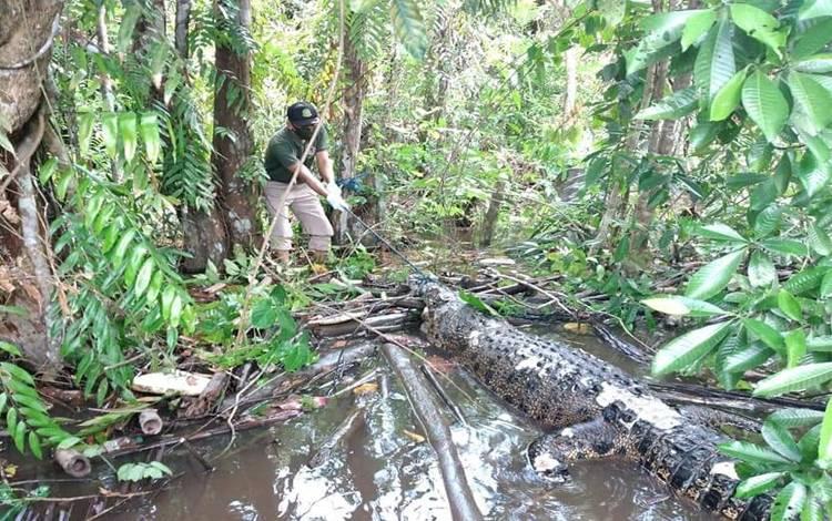 Petugas BKSDA mengevakuasi bangkai buaya yang ditemukan mati di Sungai Mentaya beberapa waktu lalu
