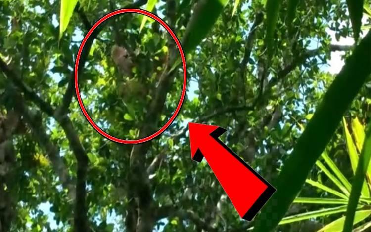 Penampakan orangutan yang muncul di hutan dekat kebun warga Desa Bapanggang Raya, Kecamatan Mentawa Baru Ketapang, Sampit, Kotawaringin Timur