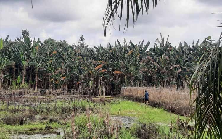 Kondisi lahan pertanian milik warga Desa Kumpai Batu Bawah pasca banjir