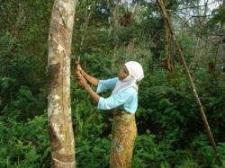 SADAP KARET: Petani tengah menyadap karet di kebun miliknya, beberapa waktu lalu. Selama satu tahun terakhir harga karet di Kabupaten Tabalong anjlok. Saat ini harga karet tidak pernah mencapai Rp8.000 per kilogram.