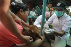 VAKSIN RABIES : Petugas Dinas Peternakan Perikanan Dan Kelautan Provinsi DKI Jakarta saat melakukan suntik vaksin kepada seekor anjing di Sumur Batu, Jakarta. Di Kotim Dinas Kesehatan setempat menemukan kasus satu korban meninggal dunia akibat gigitan anjing rabies.
