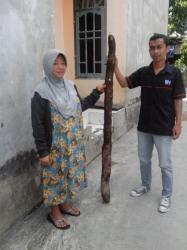Sumirah (kiri), warga Mendawai Pangkalan Bun, Kalimantan Tengah, menunjukkan singkong setinggi lebih 1,5 meter, Selasa (31/3/2015)