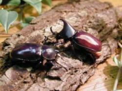 CEGAH KUMBANG TANDUK: Untuk mencegah meluasnya hama kumbang tanduk, pada pertengahan April mendatang Dinas Perkebunan (Disbun) Kobar akan menggelar sosialisasi pencegahan hama kumbang tanduk ke empat desa di Kecamatan Pangkalan Lada dan Banteng