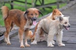 ANJING LIAR : Tiga ekor anjing sedang bermain di jembatan titian Kelurahan Raja Seberang, Kecamatan Arut Selatan, Kobar, Rabu (8/4/2015). Warga diimbau untuk melaporkan anjing miliknya untuk diberi vaksin anti rabies.