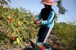 PANEN CABAI : Seorang petani sedang memanen cabai. Tahun ini Pemkab Tanah Bumbu menyediakan lahan seluas 22 haktare untuk menanam cabai.