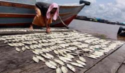 BEKERJA : Seorang warga sedang mengeringkan ikan di Kelurahan Mendawai, Kabupaten Kotawaringin Barat, beberapa waktu lalu. Di Kabupaten Bartim, pihak eksekutif diminta oleh legislatif untuk mengembangkan kawasan minapolitan. Hal ini disebabkan potensi geografis Bartim yang mendukung.