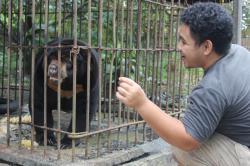 SATWA DILINDUNGI: Proses evakuasi salah satu satwa dilindungi di Kotim, beberapa waktu lalu. Sementara itu, terkait dugaan penganiayaan orangutan, DPRD meminta perusahaan jika terbukti melakukan hal itu, agar diberikan sanksi tegas.