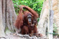 ORANGUTAN: banyak perusahaan tidak peduli terhadap keselamatan orangutan.
