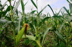 PERTANIAN JAGUNG : Tanaman jagung warga tumbuh subur di lahan pertanian masyarakat. Sementara itu, ratusan penyuluh pertanian di Kobar masih bernaung dalam Kantor KP2P, semestinya sudah menjadi badan.