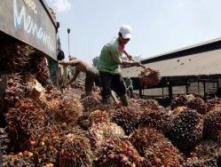 PEKERJA PERKEBUNAN : Aktivitas pekerja di penampungan kelapa sawit. Dua tahun terakhir, tidak ada pengusaha yang mengajukan banding atas penerapan upah minimum kabupaten (UMK) Seruyan sebesar Rp2,01 juta.