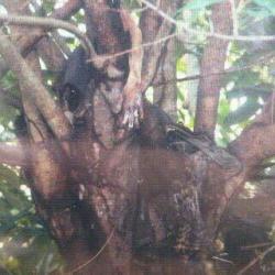 * Posisi mayat yang ditemukan di atas pohon.
