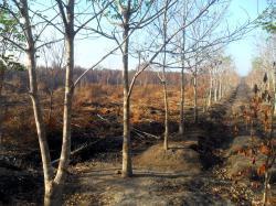 KEBAKARAN HUTAN : Perkebunan karet milik masyarakat di Desa Buntoi, Kecamatan Kahayan Hilir yang terkena imbas dari kebakaran hutan. USAID IFACS menyerukan pelestarian hutan termasuk menghentikan pembakaran lahan dan hutan.
