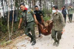 Petugas BKSDA dan BOS Palangka Raya saat mengevakuasi orangutan di Sampit, beberapa waktu lalu.