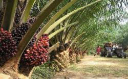 KELAPA SAWIT: Tandan buah segar (TBS) kelapa sawit. PT Buana Adi Tama, perusahaan perkebunan sawit di Kotawaringin Timur melaporkan seorang mandornya ke polisi atas tuduhan penggelapan 167 bibit kelapa sawit. BORNEO/DOK
