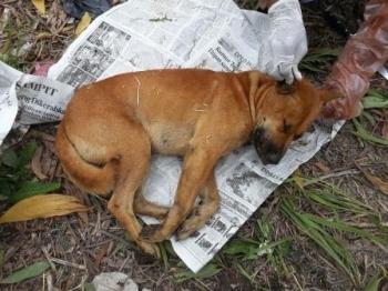 DISUNTIK MATI: Seekor anjing liar tampak terkapar setelah disuntik mati Petugas Distanak Kotawaringin Barat, Kamis (4/2/2016). Anjing ini telah mengigit empat orang di Jalan bendahara, Kecamatan Kumai, sehingga akan diambil otaknya untuk diuji laboraotium