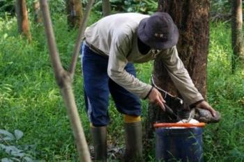 Anggaran Rp2 Miliar untuk Replanting Kebun Karet