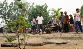 TANGKAP ULAR : Seorang warga Desa Bagendang, Kabupaten Kotawaringin Timur, berhasil menangkap ular piton sepanjang tujuh meter, beberapa waktu lalu.