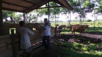 SAPI BANTUAN : Jimran, Ketua Kelompok Ternak (Pokter) Sanggar Baru, Bungur, Kelurahan Baru saat berada di peternakan binaan Distanak Kobar, Kamis (11/2/2016). Hingga Februari 2016 ini, sapi bantuan Provinsi sudah mati sebanyak lima dari 25 ekor sapi. BORN