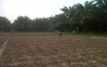 Ketua DPRD Lamandau menyarankan agar masyarakat tidak mengalihfungsikan lahan pertanian. Nampak seorang warga tengah membersihkan lahan pertaniannya. BORNEONEWS/GANDHI