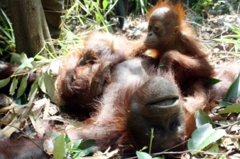 Orangutan yang diselamatkan Yayasan BOS di Kabupaten Kapuas beberapa waktu lalu. PT Smart, Tbk mengungkapkan, tidak ada kaitan antara pelepasliaran orangutan yang dilakukan perusahaan dengan Karhutla. BORNEONEWS/DOK