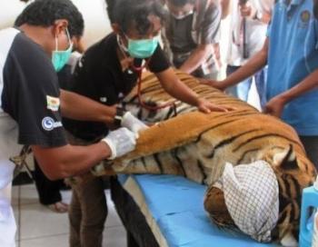 BKSDA Mukomuko Pantau  Harimau Beranak di Kebun Sawit