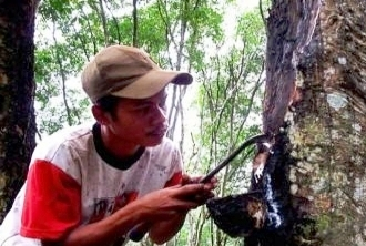 ILUSTRASI: Petani menyadap getah karet dari pohon. Harga karet mulai normal membuat petani di Kabupaten Kapuas kembali tersenyum. BORNEONEWS/DOK