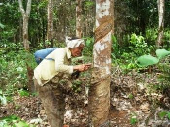 MENOREH KARET : Seorang perempuan tengah menoreh karet di kebun. Pemerintah janji meningkatkan ekonomi petani karet dengan memanfaatkan komoditas tersebut untuk infrastruktur.