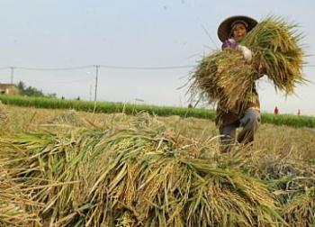 Lumpung padi di Kalimantan Tengah. DOK BORNEONEWS
