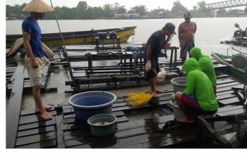 Sejumlah pemilik keramba ikan terpaksa panen mendadak ikan kerambanya di Sungai Katingan sekitar Jembatan Kasongan, Selasa (3/5/2016). BORNEONEWS/ABDUL GOFUR